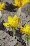 Blumen gelbes primerose im Frühjahr stockbild