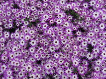 Blumen - Gerbera Lizenzfreies Stockfoto