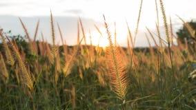 Blumen-Gras und Sonnenuntergang Stockfotos