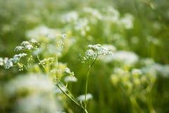 Blumen-Gras von Achillea Achillea Millefolium, das auf Meado wächst Lizenzfreie Stockbilder