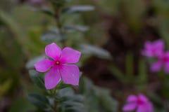 Blumen-Hintergrund, Madagaskar-Singrün im Garten stockbild