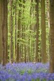 Blumen im Holz nahe Hal, Belgien Lizenzfreies Stockbild