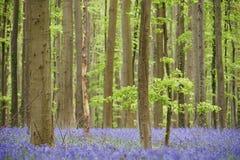 Blumen im Holz nahe Hal, Belgien Lizenzfreie Stockfotos