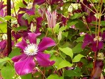 Blumen im Klematis-Garten 'Ernest Markham ' stockfotografie
