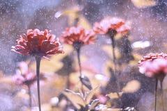 Blumen im Regen Künstlerische Bild Zinniasblumen mit schönem bokeh Lizenzfreies Stockbild