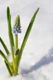 Blumen im Schnee Lizenzfreie Stockfotos