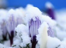 Blumen im Schnee Lizenzfreies Stockbild
