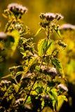 Blumen im Sonnenuntergangrücklicht Stockfotografie