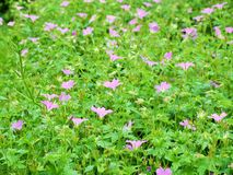 Blumen im Wald in der Mitte parkt Nottingham Großbritannien Stockfotografie