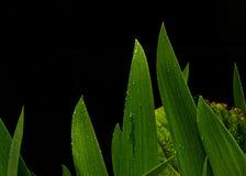 Blumen-Irisblätter nach dem Regen Stockfotos
