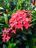 Blumen Ixora Lizenzfreie Stockfotografie