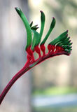 Blumen - Känguru-Tatze Lizenzfreies Stockbild