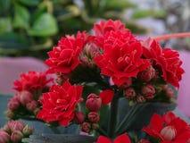 Blumen Kalanchoe Stockbilder