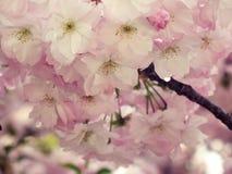 Blumen, Kirschblüte Lizenzfreie Stockfotos