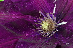 Blumen-Klematis Stockfoto