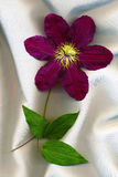 Blumen-Klematis Lizenzfreies Stockbild