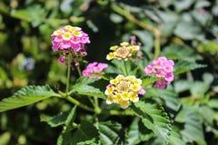 Blumen Lantana camara Lizenzfreies Stockfoto