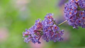 Blumen-Lavendel-Nahaufnahme auf einem schön unscharfen Hintergrund Kamera-Bewegung entlang der Blume gibt Ihnen die Gelegenheit,  Stockfotos