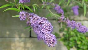 Blumen-Lavendel-Nahaufnahme auf einem schön unscharfen Hintergrund Kamera-Bewegung entlang der Blume gibt Ihnen die Gelegenheit,  Lizenzfreie Stockfotografie