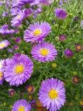 Blumen. Lila Blumen Flower Garden Garten stock photography