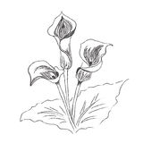 Blumen, Lilie, Malerei, Skizze, Vektor, Illustration Stockfotografie