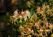 Blumen Lonicera Stockfotografie