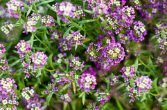 Blumen mit den kleinen lossoms, die im Garten blühen Stockbilder
