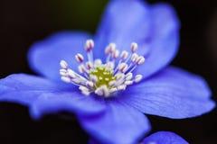 Blumen mit einen Blau von Hepatica Horizontaler Schuß Stockbild