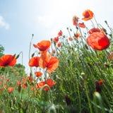 Blumen - Mohnblumen - Feld stockfoto