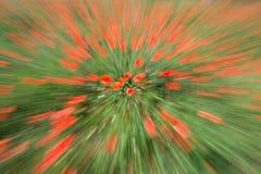 Blumen - Mohnblumen - Feld stockbild