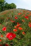 Blumen - Mohnblumen - Feld lizenzfreies stockbild