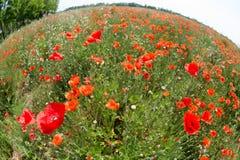 Blumen - Mohnblumen - Feld stockbilder
