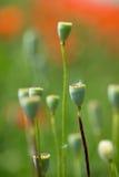 Blumen - Mohnblumen - Feld lizenzfreie stockfotos