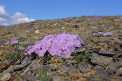 Blumen Nationalparks Ivvavik Stockfoto