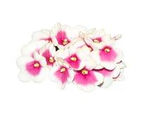 Blumen Optimara-myDesire (Holtkamp) auf weißem Hintergrund, Weg stockfoto