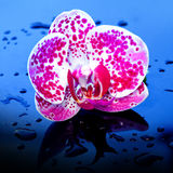 Blumen-Orchidee in den Wassertropfen Stockbild