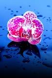 Blumen-Orchidee in den Wassertropfen Stockbilder