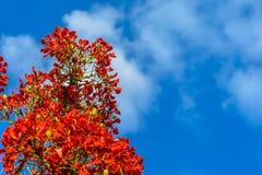 Blumen-Pfau mit blauem Himmel Stockfotos