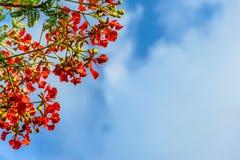 Blumen-Pfau mit blauem Himmel Stockfoto