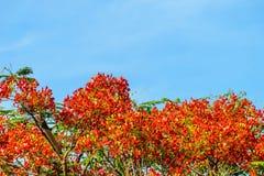 Blumen-Pfau mit blauem Himmel Stockbilder