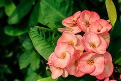 Blumen Poi-Sian Lizenzfreie Stockfotos