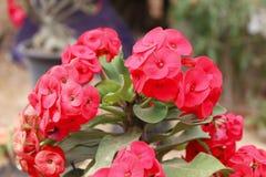 Blumen Poi Sian in der hellen Ausdehnung Lizenzfreie Stockfotos
