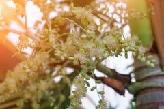 Blumen-Raja Lipstick Palm Sealings-Wachs, Lippenstift, Raja, Zierpflanze Maharadschas im Garten mit hellem Sonnenaufgangton auser stockfotografie
