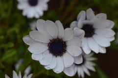 Blumen-Regentropfen Stockbild