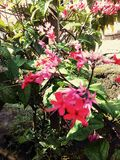 Blumen-Rot Nona Makan Sirih Lizenzfreie Stockfotografie