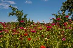 Blumen, Südafrika stockbilder