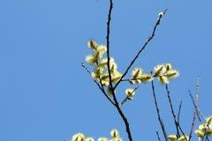 Blumen Salix caprea Lizenzfreie Stockfotos