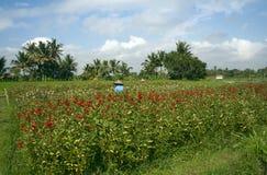 Blumen-Sammeln, Bali stockfotos