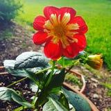 Blumen-Schönheit Lizenzfreie Stockbilder