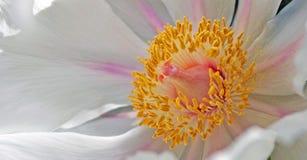 Blumen-Schande und Antheren - Makro Lizenzfreie Stockfotografie